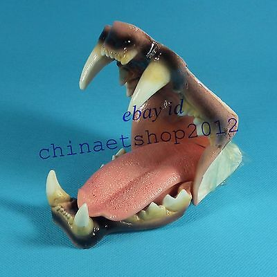 Dental Feline Jaw Teeth Tongue Model Vet Anatomy Leopard Display