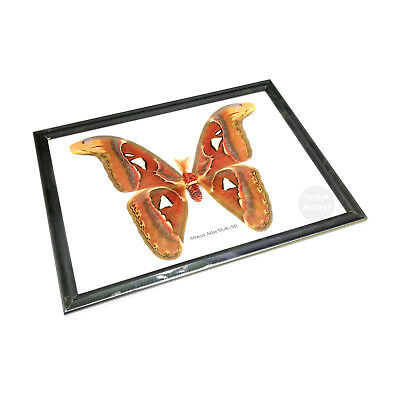 Real Giant Attacus Atlas Moth Insect Butterfly Taxidermy Display Framed M Male