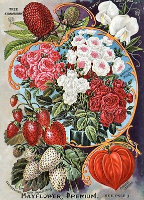 Childs Collection Vintage Fruit Seeds Packet Catalogue Advertisement Poster 11