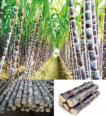 Succulent Sugar Cane Seeds Delicious Vegetable Fruit Seeds sugarcane Seed Health