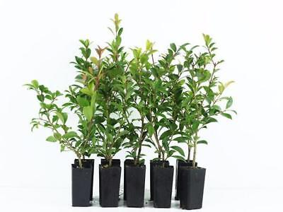 10-100 Plants | SYZYGIUM SELECT-LILLY PILLY-Hedge Block Out Neighbours|Screen