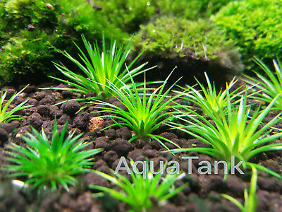 Eriocaulon randomly mixed species 30 seeds !!! Live Aquatic Aquarium Plants