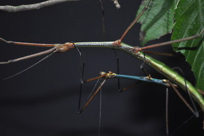 """Lopaphus sp. """"Cuc Phuong"""" stick insect 20 eggs"""