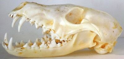 Red Fox Skull taxidermy real bone skeleton