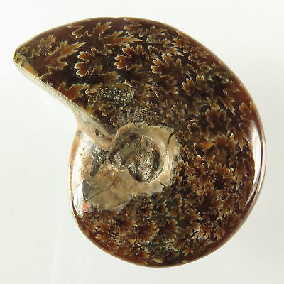 Original 83x39 mm AMMONITE FOSSIL Fancy Cabochon Extra Large Gemstone 114.40 Cts