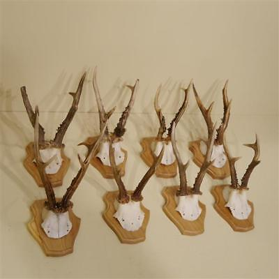 8 Piece Beautiful Deer Antlers with Short Nose New Trophy Shields Antler