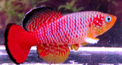 N.guentheri Red  aquarium Strain Killifish (killiefish) eggs
