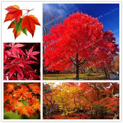 Real Japanese Red Ghost Maple Tree Bonsai Seeds, 20 Seeds/Pack, Acer palmatum
