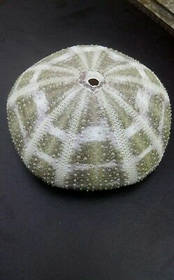 sea urchin shell large 8.5 cm