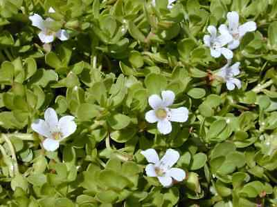 Bacopa monnieri 10.000 seeds waterhyssop, brahmi, water hyssop, indian pennywort