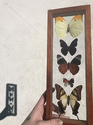 Beautiful Antique Real Butterfly Display Taxidermy Oddity Nature
