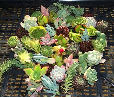 SUCCULENTS  50 Xtra cheap succulent plant cuttings MIX Great colour, SMALL hardy