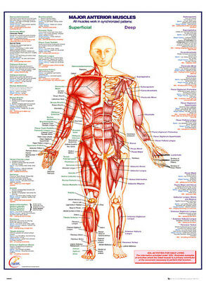 Official Human Body Major Anterior Muscles Maxi Poster 91.5 x 61cmv Anatomy