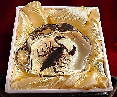 REAL Scorpion in Acrylic Block-Taxidermy Paperweight-Halloween Decor-Small Size
