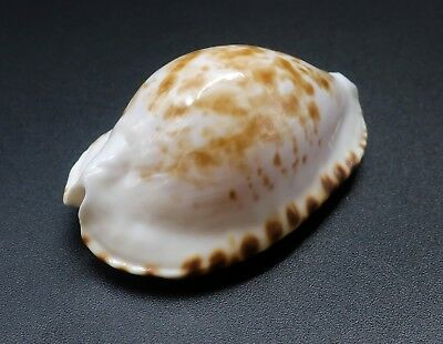Exquisite, scarce Zoila bataviensis F+++/GEM, 51.4 mm Australia cowrie seashell