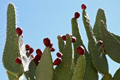 Opuntia robusta HARDY GIANT PRICKLY PEAR CACTUS Seeds