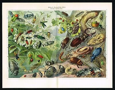Beetles Coleoptera Bugs Insects Entomology 1927 Antique Color Lithograph Print
