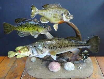 4 PROFESSIONAL TAXIDERMY Fish Wall Mount/stand Largemouth Bass Croppie  Bluegill