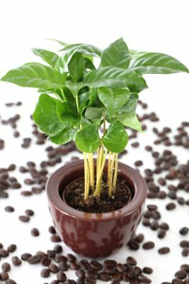 20pcs Seeds Bonsai Arabica Coffee Bean Tree Tropical Home Garden Pot Decorative