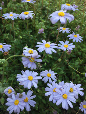 Blue Marguerite Daisy Seedlings with roots x 5 Flowers Most of the year