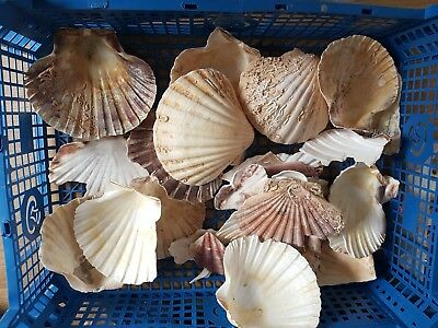 scallop shells and broken bits full of sea patination for craft, garden art,