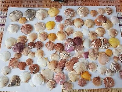 Pecten Noblis Natural Scallop Sea Shells small Medium Seashells Weddings Craft
