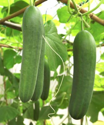 Cucumber Spacemaster Seeds by Zellajake Many Sizes FREE SHIP Slice Can 323C