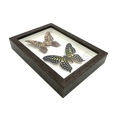 Real 2 Tailed Jay Butterfly Taxidermy Shadowbox Framed Insect Mounted Display