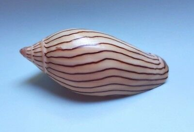 Amoria elliotti F++, 74.2 mm Voluta seashell Australia H