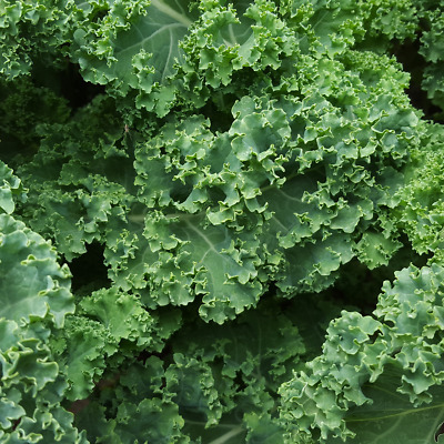 Borecole / kale - Dwarf Green Curled vegetable seeds