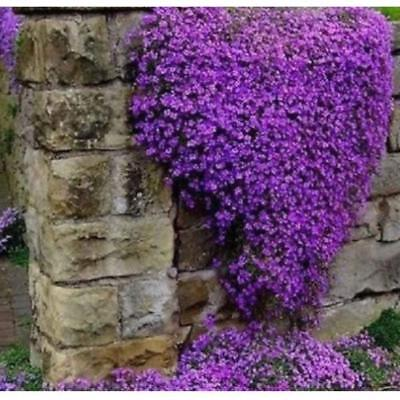 BUY 3 GET 2 FREE Rock Cress,Aubrieta Cascade Purple FLOWER SEEDS 100pcs