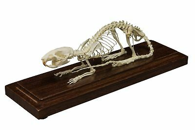 Real Rat Economy Skeleton
