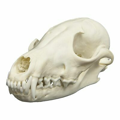 Real Red Fox Skull