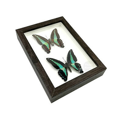 Real 2 Graphium Sarpedon Butterfly Taxidermy Shadowbox Framed Mounted Display