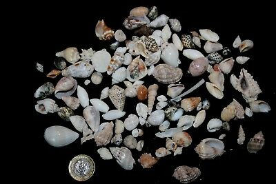 Red Sea shell selection