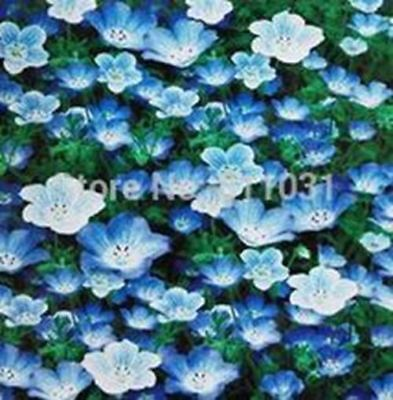 50 Seeds/Pack.Potted Annual Flower Baby Blue Eyes Nemophila Easy to grow home ga