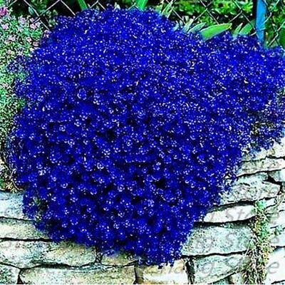 "Aubrieta ""royal Blue"" 30/100 Semi - Aubretia Gracilis Blu Viable Seeds"