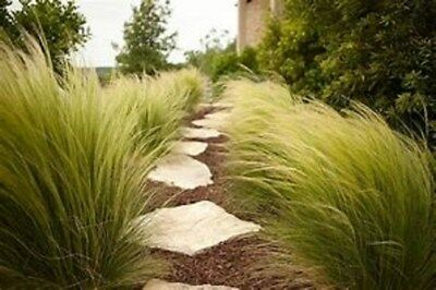 MEXICAN FEATHER GRASS100 + seeds - Stipa Tenuissima - Ornamental - Pony Grass