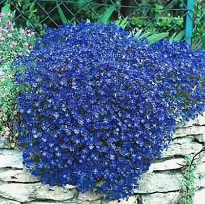 BUY 3 GET 2 FREE Aubrieta Bright Blue Rock Cress Flower 50+ Pcs Seeds