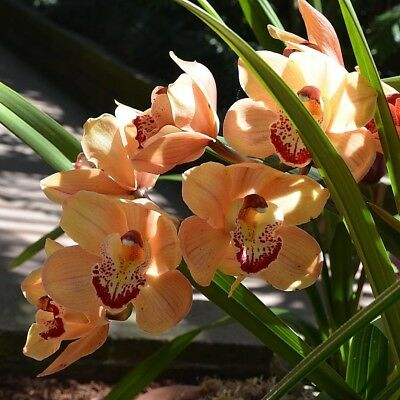 Phalaenopsis Butterfly Spray Of Peach Orchid 100 Pcs Seeds Bonsai Blooming Home