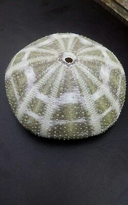 sea urchin shell large 7.5 cm