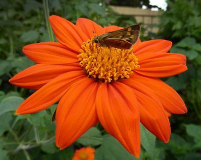 Tithonia Rotundifolia 20 Semi - Torch Orange Red Butterfly Viable Seeds