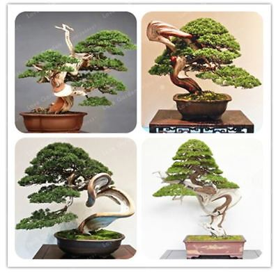 100pcs Juniper Bonsai Tree Potted Flowers Office Home Air Purify Absorb Harmful