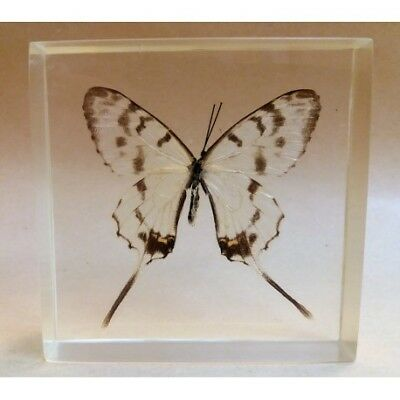 """REAL INSECT - INSETTO SOTTO RESINA """"FARFALLA"""" R.13 BUTTERFLY PAPERWEIGHT  7x7 Cm"""