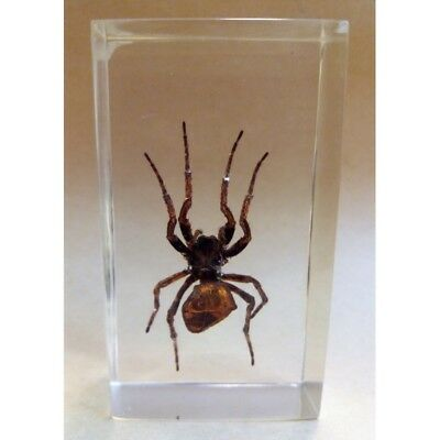 """REAL INSECT - INSETTO SOTTO RESINA """"SPIDER"""" RAGNO PAPERWEIGHT 4x7 Cm"""