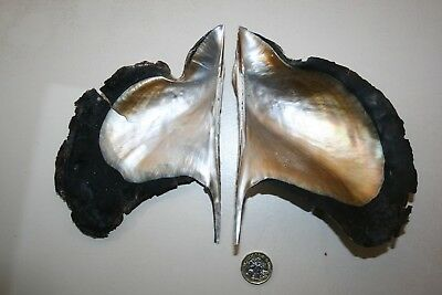WING OYSTER seashell pair