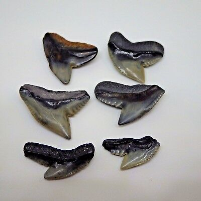 Lot of 6 Prehistoric Fossilized Tiger Shark Teeth Over 10,000 Years Old
