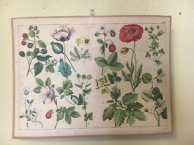 French Botanical Chart For Education Circa 1900