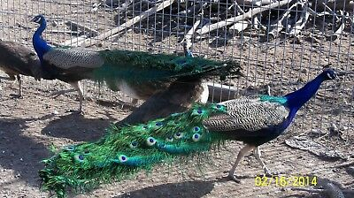 3 PURE INDIA BLUE  PEACOCK  PEAFOWL  EGGS, With Free Priority shipping !!