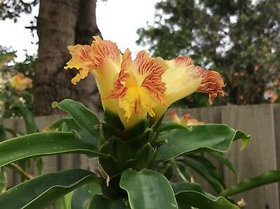 SCS Costus pictus 'Spiral Ginger' Rare Exotic Tropical Plant for Melbourne